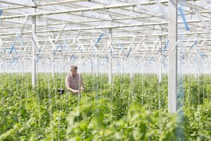 Man examining plants while standing in greenhouse